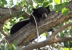 This family of bears was in trees in Golden.
