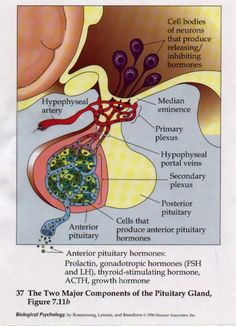 Do you wonder how to stimulate pituitary gland to release growth hormone naturally? Anterior Pituitary, Pituitary Gland Disorders, Nurse Teaching, Cushing Disease, Medicine Notes, Medical Coding, Nursing Notes, Endocrine System, Growth Hormone
