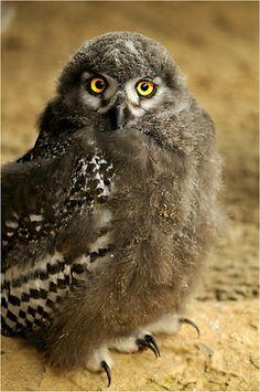 llbwwb:    Baby snowy owl by *Svenimal