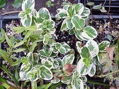 Carissa humphreyii variegata [hort]