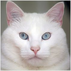 Billy Boy. An example of pure white in a kitty. Beautiful !  Cats.
