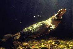 mole creek pub platypus - Google Search Baby Platypus, Duck Billed Platypus, Reptiles And Amphibians, Mammals, Convergent Evolution, Mammary Gland, The Venom, Weird Creatures, Animals Of The World