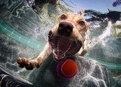 Siete fotos espectaculares de perros atrapando una pelota bajo el agua, que hoy quiero compartir contigo, son imagenes de perros bajo el agua que puedes usar como fondo de escritorio, o para fondo …