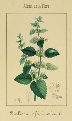 Lemon Balm - Melissa officinalis - Fresh or dried leaves make a calming lemon-scented tea - Fresh leaves add tang to salads and drinks - circa 1864 http://www.swallowtailgardenseeds.com/herbs/lemonbalm.html