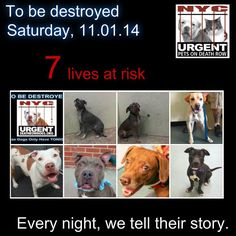 TO BE DESTROYED: 7 Dogs to be euthanized by NYC ACC- SAT. 11/01/14. This is a HIGH KILL shelter group. YOU may be the only hope for these pups! ****PLEASE SHARE EVERYWHERE!!! To rescue a Death Row Dog, Please read this:  http://urgentpetsondeathrow.org/must-read/    To view the full album, please click here:    https://www.facebook.com/media/set/?set=a.611290788883804.1073741851.152876678058553&type=3