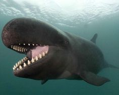 False Killer Whale in the waters off Kona, Hawaii. US   by photographer Doug Perrine