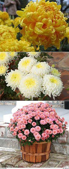 Хризантемы-особенности выращивания. Flower Names, Small Farm, Chrysanthemum, Compost, Vegetable Garden, Green Colors, Floral Wreath, Bouquet, Wreaths