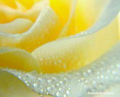 rose petals in dew drops