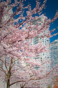 """Sakura in the city of glass."" Vancouver, BC."
