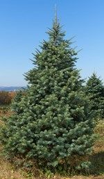 """Popular Christmas tree because of the natural """"orange"""" aroma and soft needles. Planting Shrubs, Fir Tree, Trees And Shrubs, Evergreen, Christmas Tree, Backyard, Landscape, Nature, Wisconsin"""