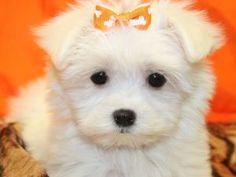Maltese Puppies For Sale: Maltese Puppies for sale in Brooklyn NY