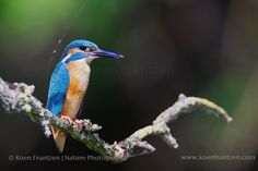 Common Kingfisher (Alcedo atthis)  koenfrantzen.com