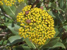 Bupleurum fruticosum. Feuilles persistantes vertes et coriaces. Fleurs jaunes en ombelle suivies d'une fructification en étoile qui persistent longtemps sur les ombelles apportent un graphisme supplémentaire à cet arbuste. Il a une croissance assez rapide et supporte très bien la taille.    Origine : Sud de la France, Nord-Ouest de l'Afrique, Corse, Sardaigne, Sicile, Grèce. Il est commun dans les terres maritimes jusqu'à 1200 m d'altitude.