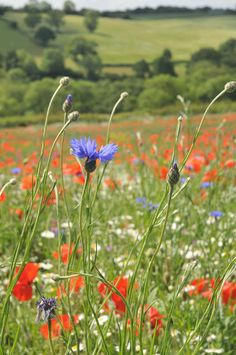 Cornflowers and Poppies in the English countryside. Would be nice for a front yard.