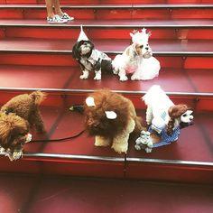 We're off to see the #wizard #nyc #timessquare #onthestepsofthepalace #theresnoplacelikehome #friends #glinda #wizardofoz #photoshoot #gimmetreats #cassie #cassiethecavalier #cavalierkingcharlesspaniel #ckcs #blenheim #cavlife #cavworld #instacavalier #cavaliersofnyc #cavaliersofinstagram #princess #puppygirl #astarisborn #dogsofnyc #dogsofinstaworld @littlefreddietinkles @poochofnyc @smithespis