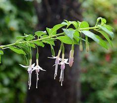 Fuchsia magellanica Whiteknights Pearl