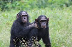 """What's it like tracking chimpanzees in Senegal? """"Trying to not make a sound while traversing this slope is a dance of sorts, a balancing act. With the crunching of leaves under our feet and the sound of the scree tumbling down the slope I cringe thinking the noise will scare the chimps and they will move further away."""" Read more from our VP of Conservation Strategy."""