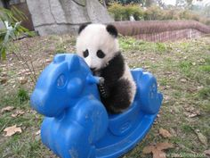 Panda cubs are so cute loving kids toys and rocking