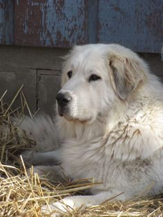 Great Pyrenees-these dogs are so sweet and laid back! Size of a great dane