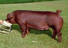 Yorkshire Pigs | Duroc Pigs