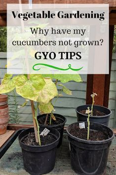 gyo gardening tips why cucumbers not grown Container Gardening, Gardening Tips, Mini Cucumbers, Outdoor Areas, Fruits And Vegetables, Compost, Vegetable Garden, Gardens
