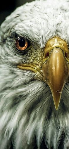 Eagle Images, Eagle Pictures, Bird Pictures, Eagle Wallpaper, Animal Wallpaper, Iphone Wallpaper, Beautiful Birds, Animals Beautiful, Regard Animal