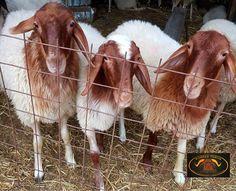 Sheep, Goats, Adoption, Dairy, Cute, Ducks, Animals, Milk, Inspiration
