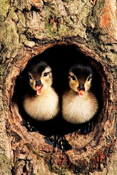 Ducklings in Tree Hollow (Wood Ducks, Aix sponsa) Фотографии животных и дикой природы.jpg - Pixdaus on imgfave All Gods Creatures, Cute Creatures, Beautiful Creatures, Cute Baby Animals, Animals And Pets, Funny Animals, Wild Animals, Funny Birds, Nature Animals