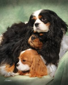 Cavalier King Charles Spaniel - the black and tan in the middle ilooks like Charley and the Blenheim looks like Maggie