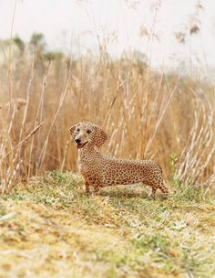 Rare sighting of the exotic African Weiner Dog............wasn't sure this is a 'pet' or wild animal...