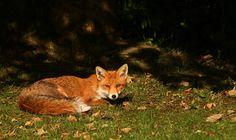 Fox in the morning sun
