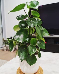 How my Plant Care, Evergreen, Plant Leaves, Tropical, Tips, Plants, Plant, Planets, Counseling