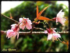 Flor da cerejeira (Prunus cerasus)