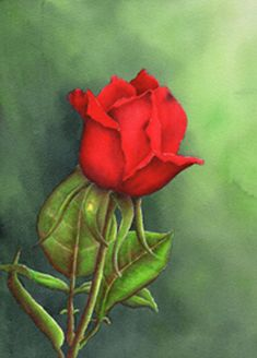 In April 2014 Interactive Artist Magazine!!! Red Rosebud in Watercolor by Sheri Hart A rose is a rose and this rose painted with watercolors is simply stunning.  Follow along as Sheri shows you step by step how to prep, mask, and paint this long stemmed red rose.