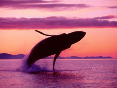 Crimson Flight Humpback Whale Alaska