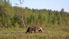 Yle Uutiset selkosuomeksi - Karhunpentujen talvi meni hyvin | yle.fi Animals, Animales, Animaux, Animal, Animais