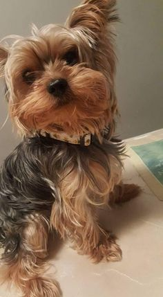 Facts On The Feisty Yorkshire Terrier Puppy Fakten über den feisty Yorkshire Terrier Welpen Yorky Terrier, Yorshire Terrier, Yorkies, Yorkie Puppy, Teacup Yorkie, Lap Dogs, Dogs And Puppies, Top Dog Breeds, Hilarious Animals