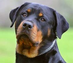another one of my dream dogs, so gorgeous