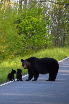 Black bear mother with her little cubs on Skyline Drive in Shenandoah National Park, Virginia, USA.