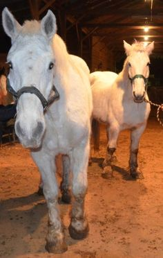 Snow Angel & Snow Dew Percheron mare & Gelding 12-15 yrs. old  MUST STAY TOGETHER!  Wonderful horses gorgeous greys.  Angel - approx. 17+ hands has been ridden english, rides wonderful.  Dewey - approx. 16+ hands is still a little bit shy but lovable, he still has to be evaluated for riding.  Have been together as a working team, now retired and ready for the trail.   https://www.facebook.com/IronGaitPercherons  #Draft #Horse #Rescue #Georgia