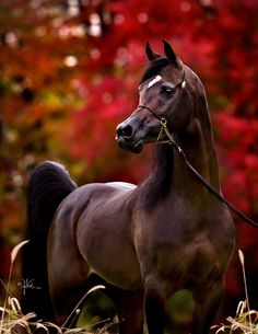 Arabian horse - from Varian Arabians