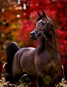 Arabian horse - from Varian Arabians