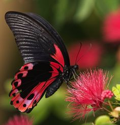 ❥ black and red butterfly