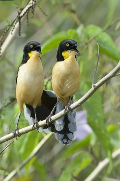 Black-capped Donacobius (Donacobius atricapilla) is a conspicuous, vocal South American bird. It is found in tropical swamps and wetlands. Rare Birds, Exotic Birds, Colorful Birds, Most Beautiful Birds, Pretty Birds, Crazy Bird, Wild Birds, Bird Watching, Beautiful Creatures