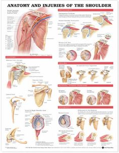 This inch examination-room human anatomy poster shows views of the shoulder anatomy, impingement, rotator cuff tear, trauma and bicipital tendon. Muscle Anatomy, Body Anatomy, Human Anatomy, Hand Therapy, Massage Therapy, Shoulder Anatomy, Rotator Cuff Tear, Shoulder Surgery, Shoulder Rehab
