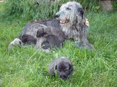 An Irish Wolfhound mother and her pups. For you @Bonnie Keen