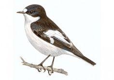El #papamoscas_cerrojillo, que en otoño ocupa las marismas del norte de la península ibérica para pasar el invierno, es una de las aves migratoria con mayor capacidad de #resistencia, ya que puede volar hasta 3000 kilómetros sin repostar.