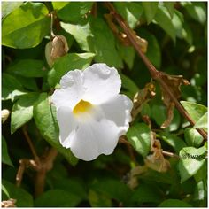 Thunbergia erecta white