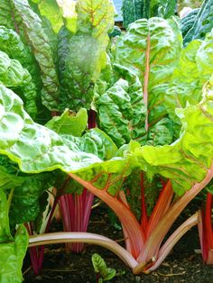 Swiss chard- I need recipes for this... was in our co op basket
