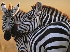 Zebras via National Geographic Society Cute Creatures, Beautiful Creatures, Animals Beautiful, Beautiful Things, Zebra Wallpaper, Nature Wallpaper, Hd Wallpaper, Wallpapers, Zoo Animals